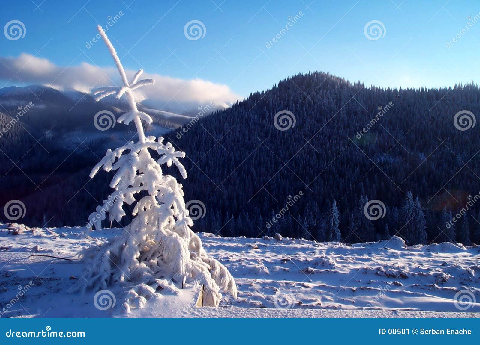 Frischer Baum der weißen Tanne in der warmen Leuchte