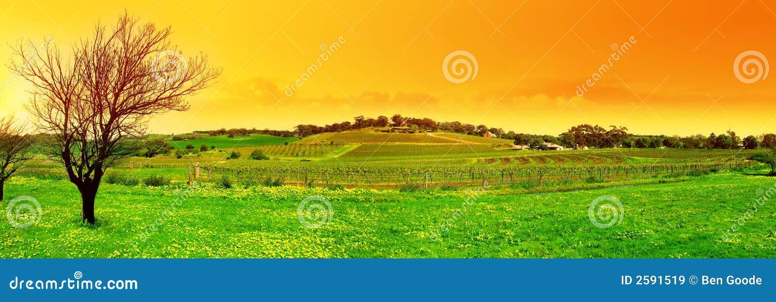 Frischer Weinberg panoramisch