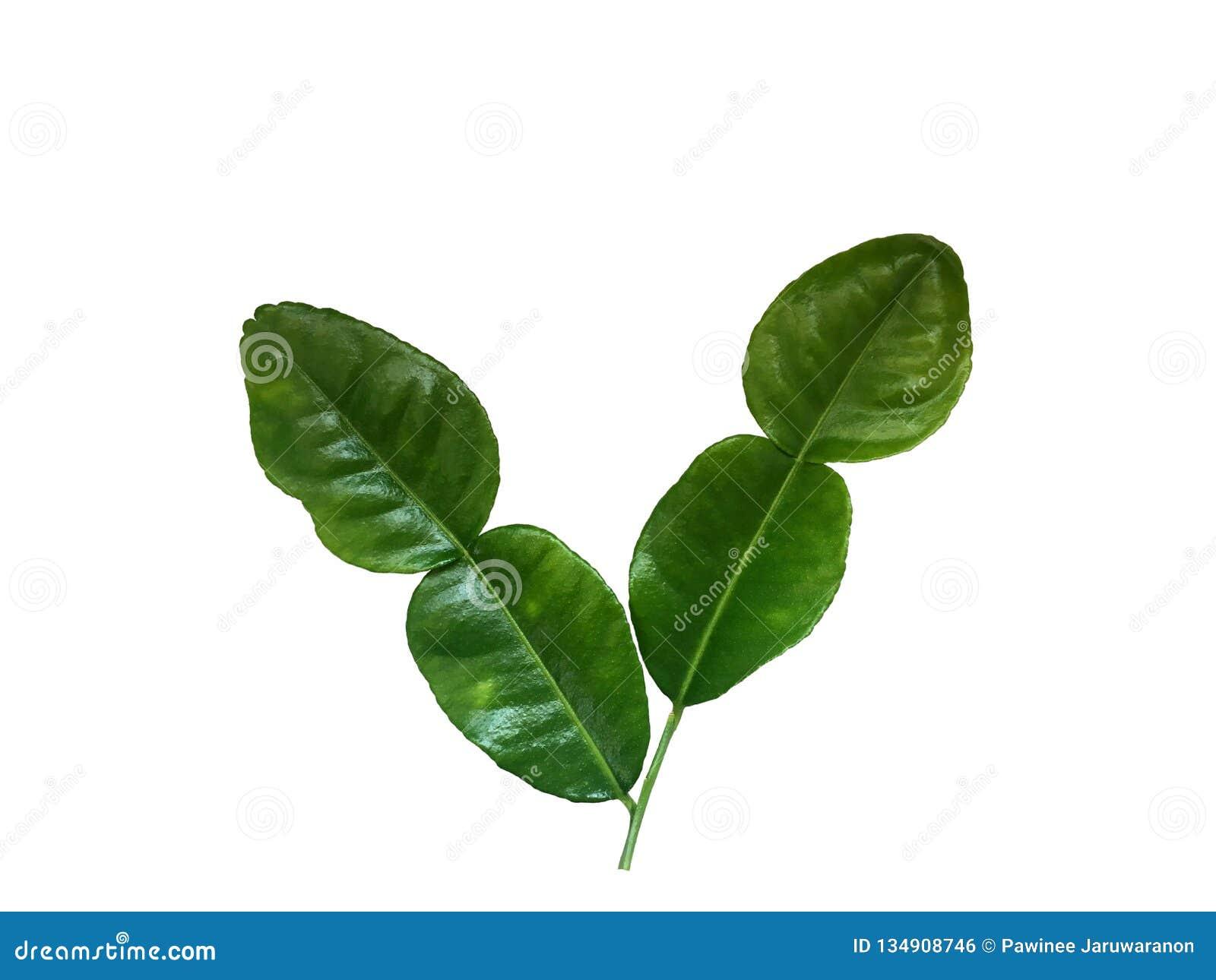 Frisches grünes Bergamottenblatt lokalisiert auf weißem Hintergrund