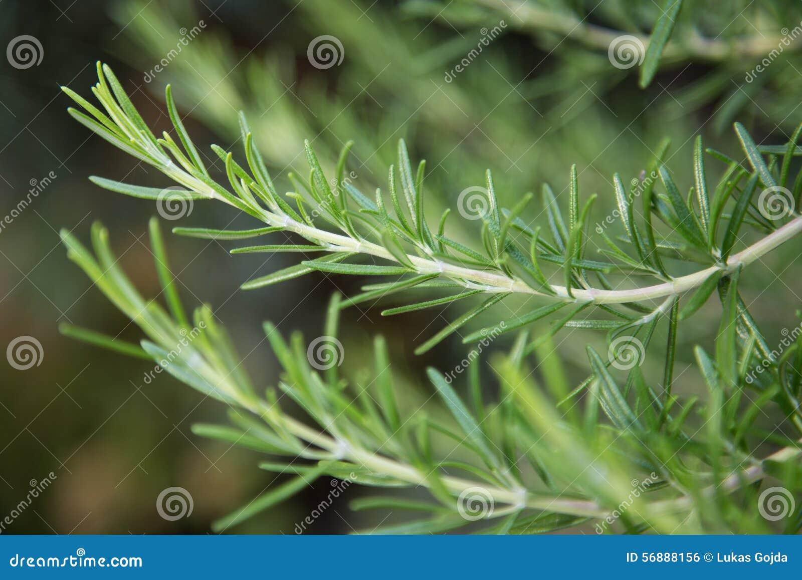 Frisches Rosemary-Kraut