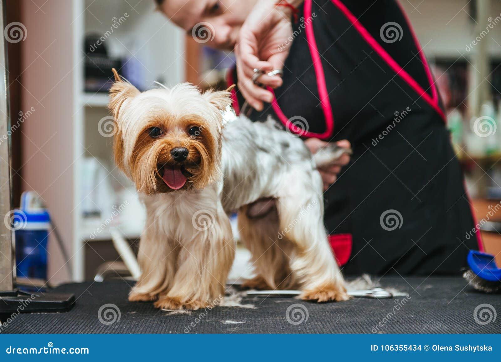 Friseur mäht Pelz Yorkshires Terrier auf dem Ohr mit einem Trimmer