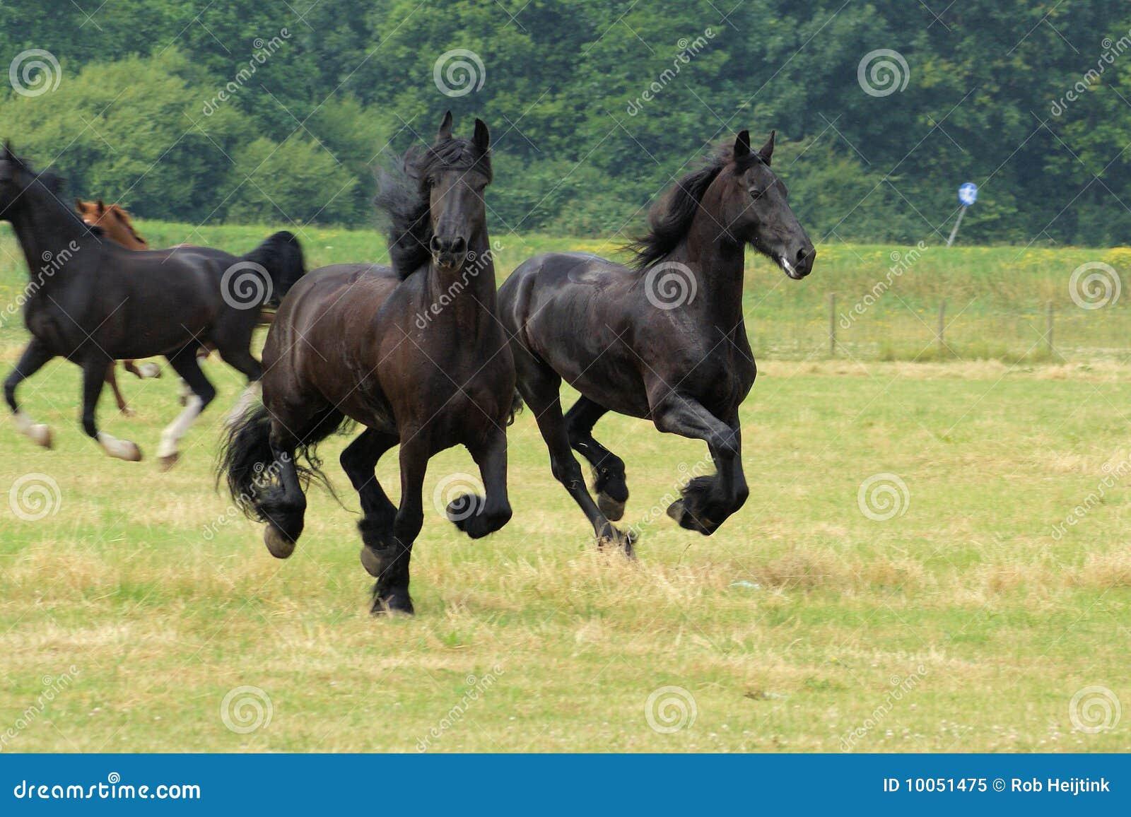 Frisians Running tão elegantes