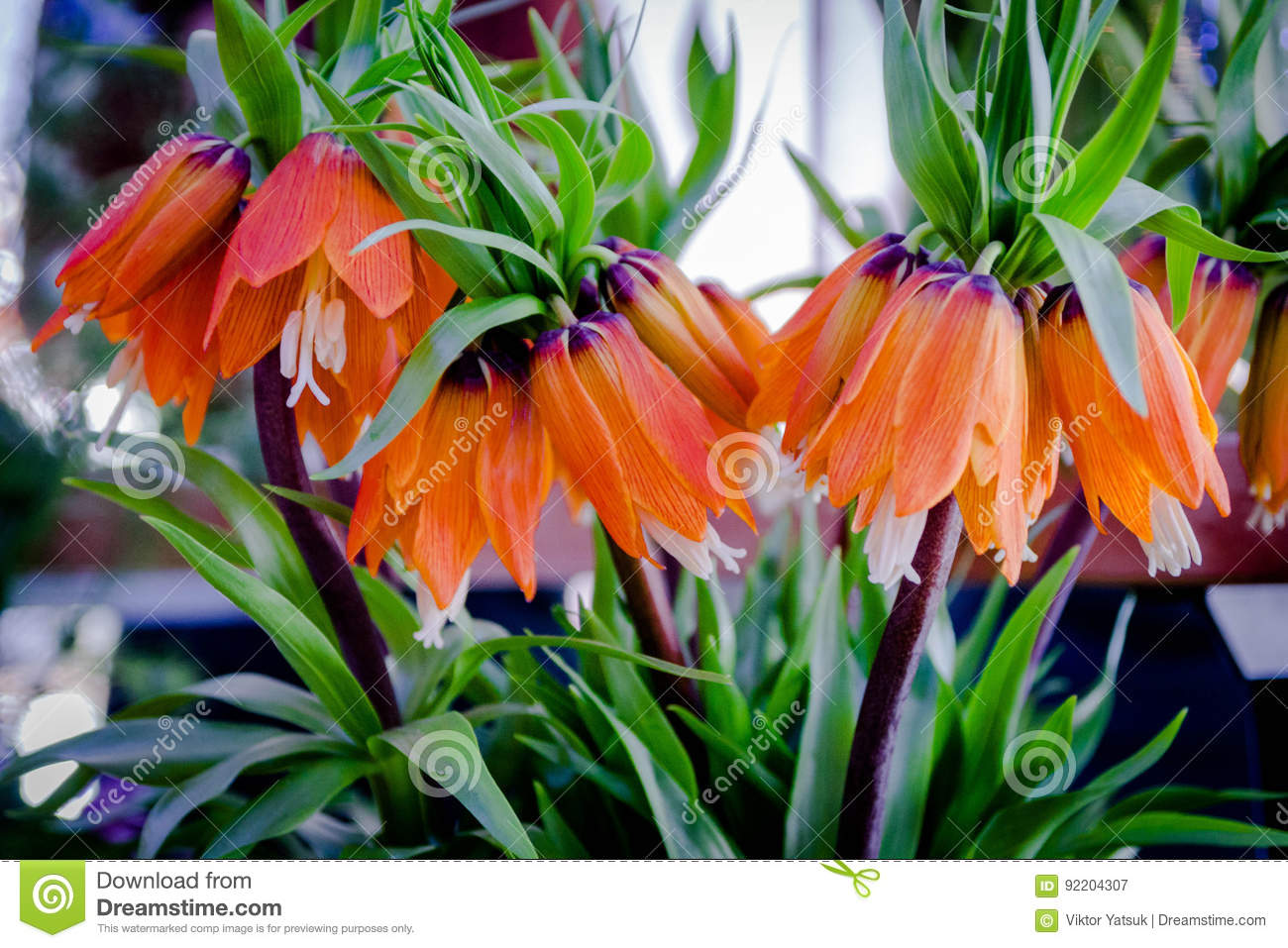 Fritillaria Imperialis Rubra Maxima Crown Imperial Summer Flowers