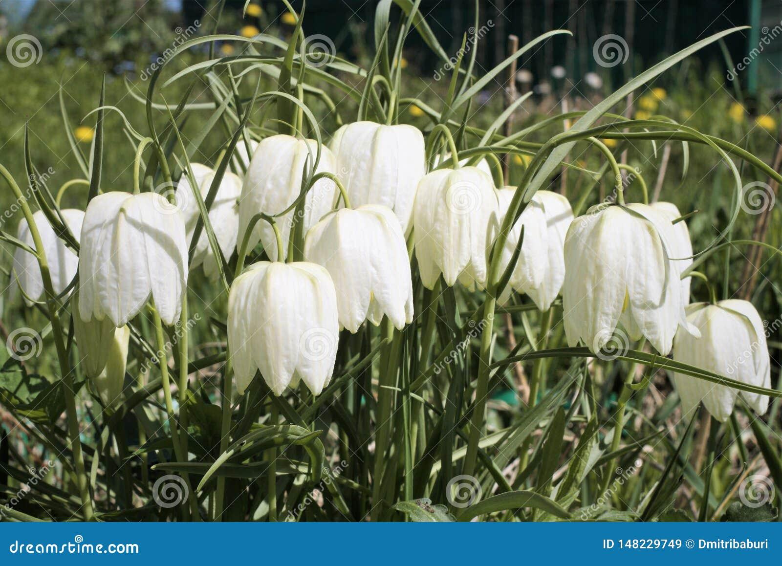 Fritillaria Meleagris Alba or White Hazel Grouse in Early Spring ...