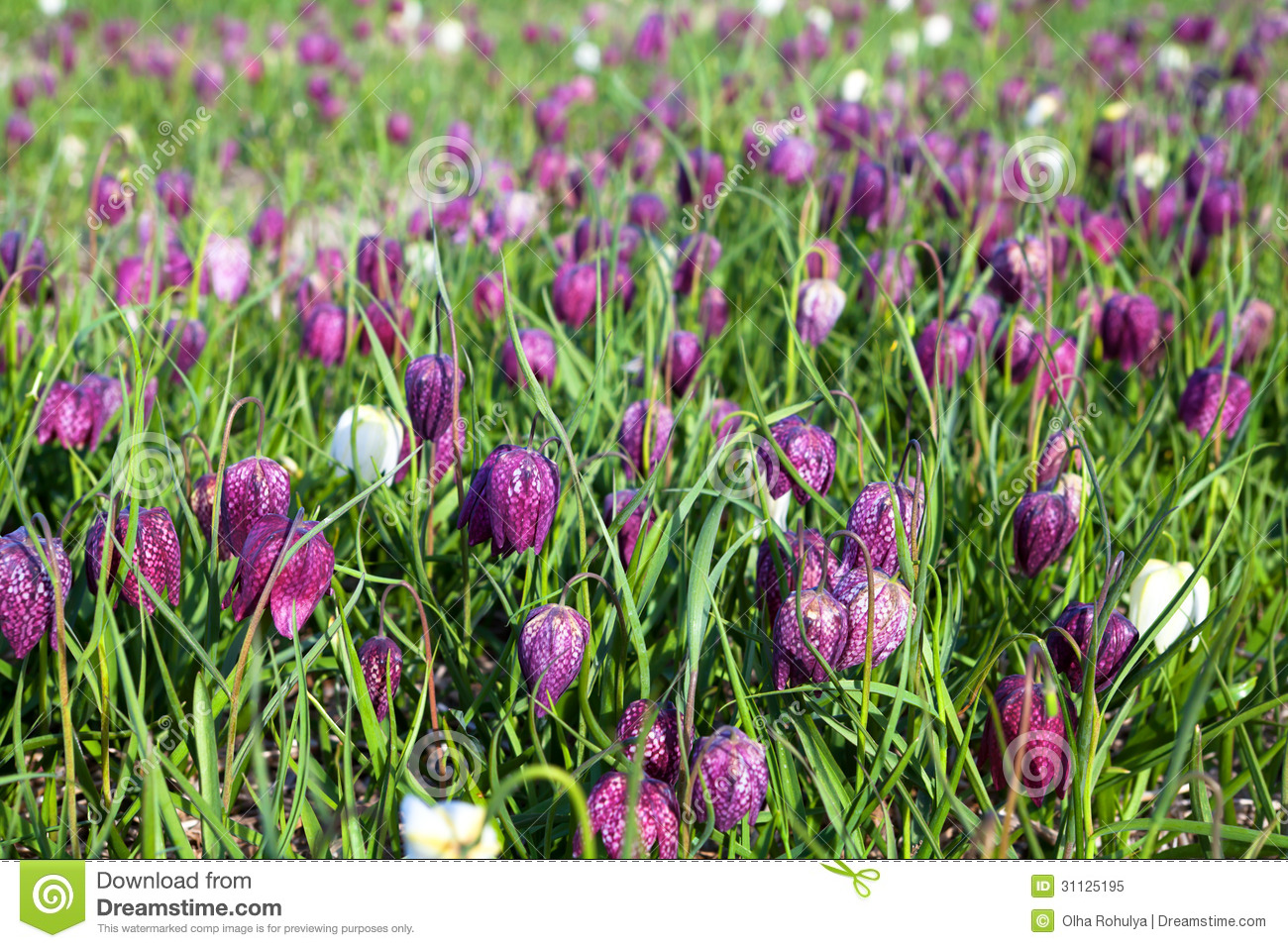 fritillaria meleagris flowers of snake 39 s head fritillary. Black Bedroom Furniture Sets. Home Design Ideas