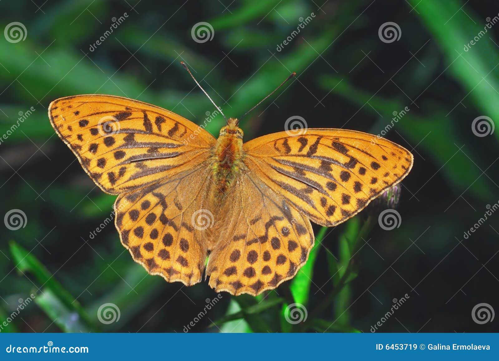 Fritillary umyte motyla srebra