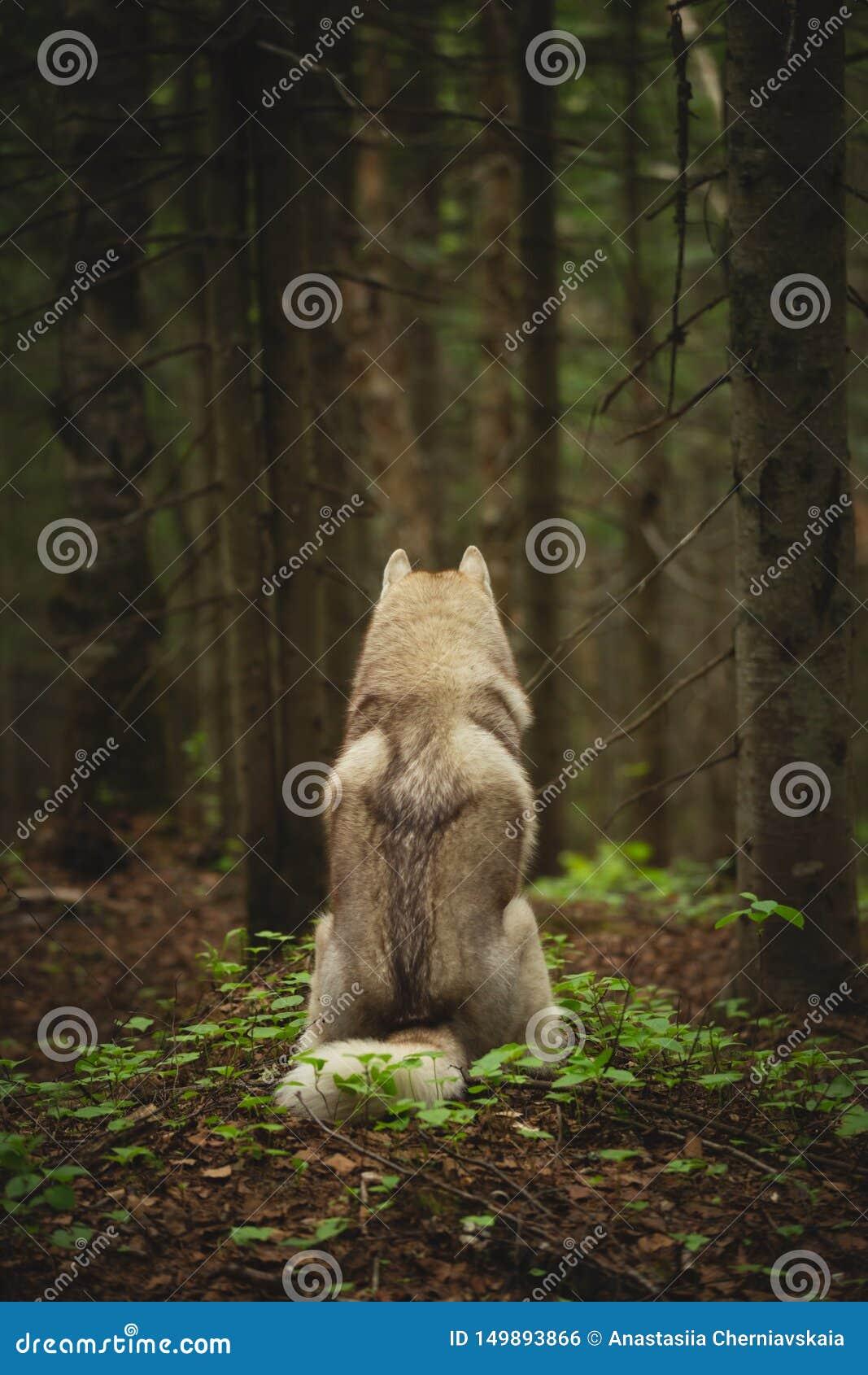 Fritt och h?rligt skrovligt sitta f?r hundavelsiberian tillbaka till kameran i den m?rka mystiska skogen