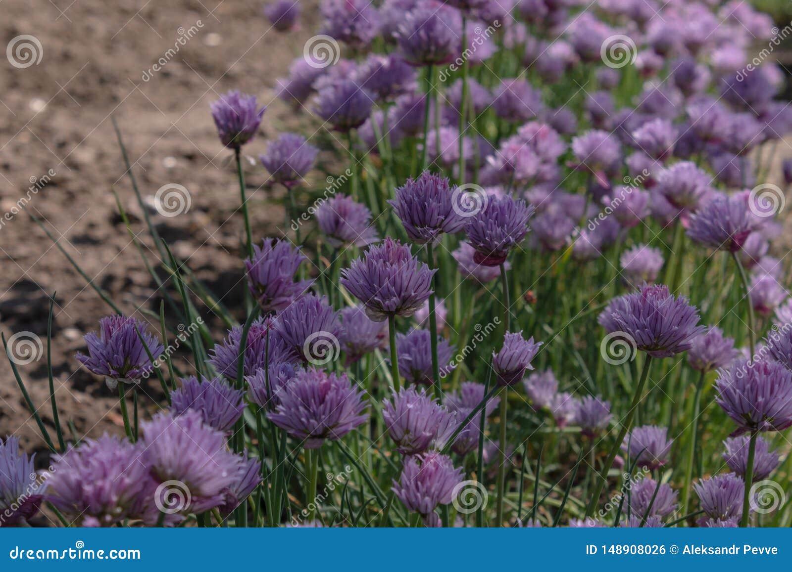 Frodiga blommande blommagr?sl?kar v?xer i ?verfl?d i en skuggad tr?dg?rd