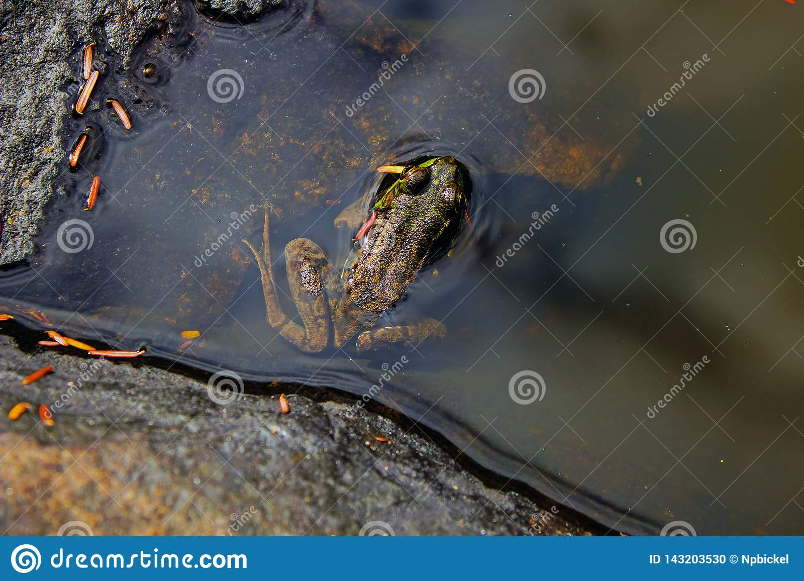 Frog in an Adirondack Pond Centered in Frame