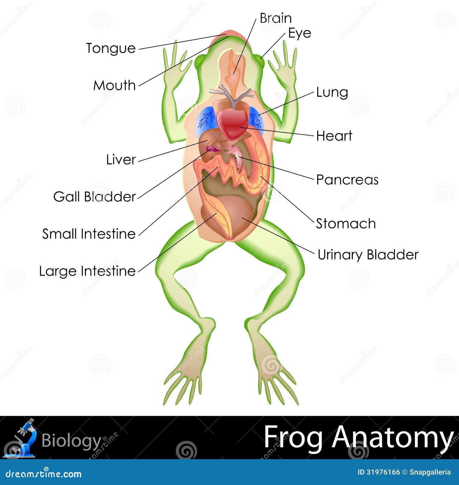 Frog Anatomy Stock Illustrations 100 Frog Anatomy Stock