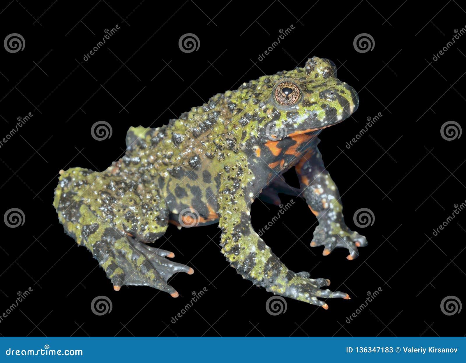 Frog Bombina orientalis 5 stock image  Image of outdoor