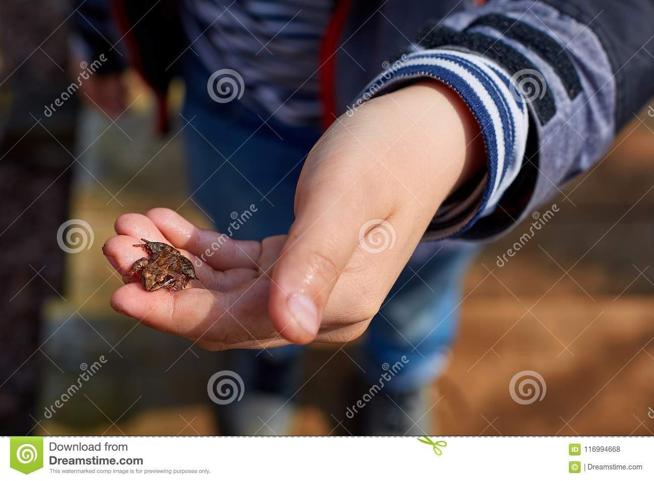 A frog in a child`s hand