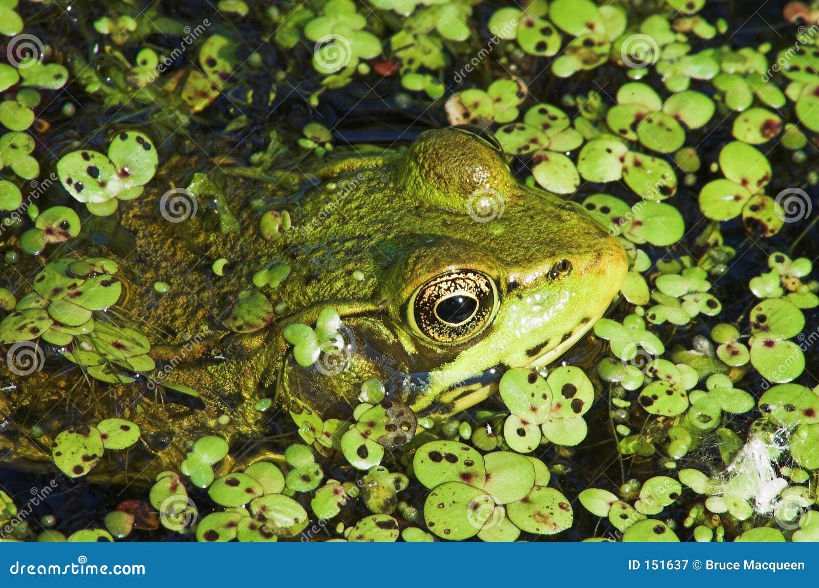 Frog Eyes 1