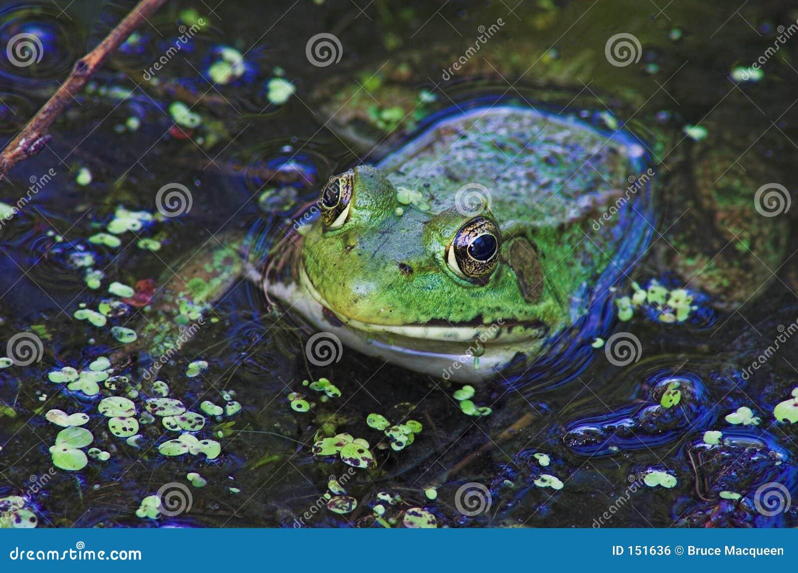 Frog Eyes 2