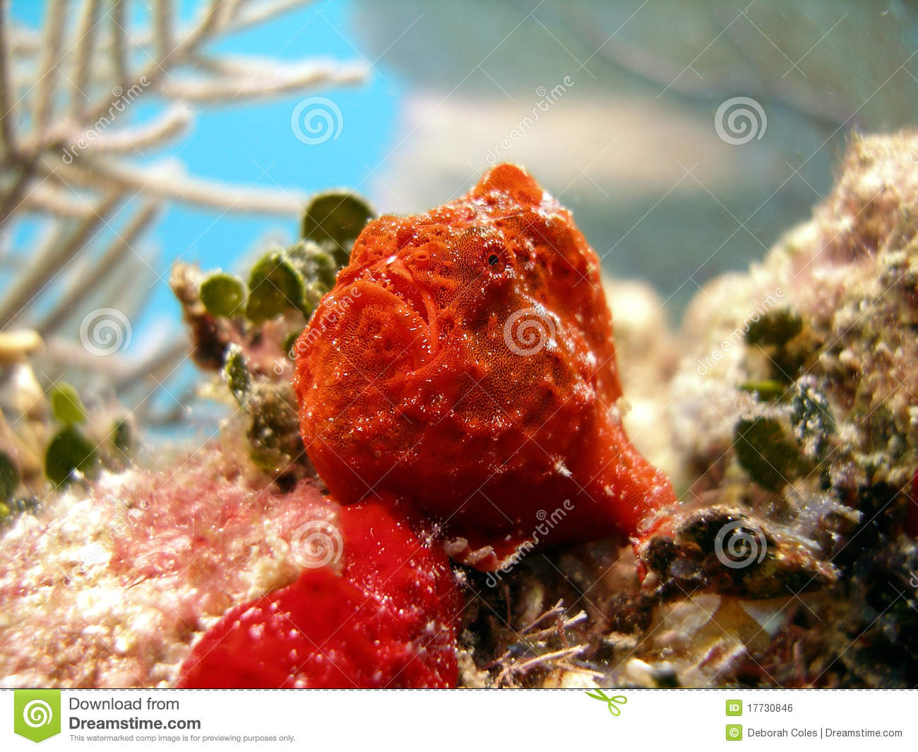Frog Fish or Angler Fish stock photo. Image of exotic - 17730846