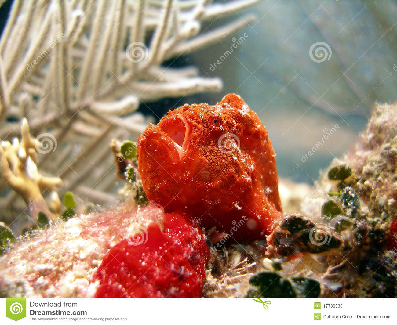Frog Fish or Angler Fish stock photo. Image of life, beautiful ...