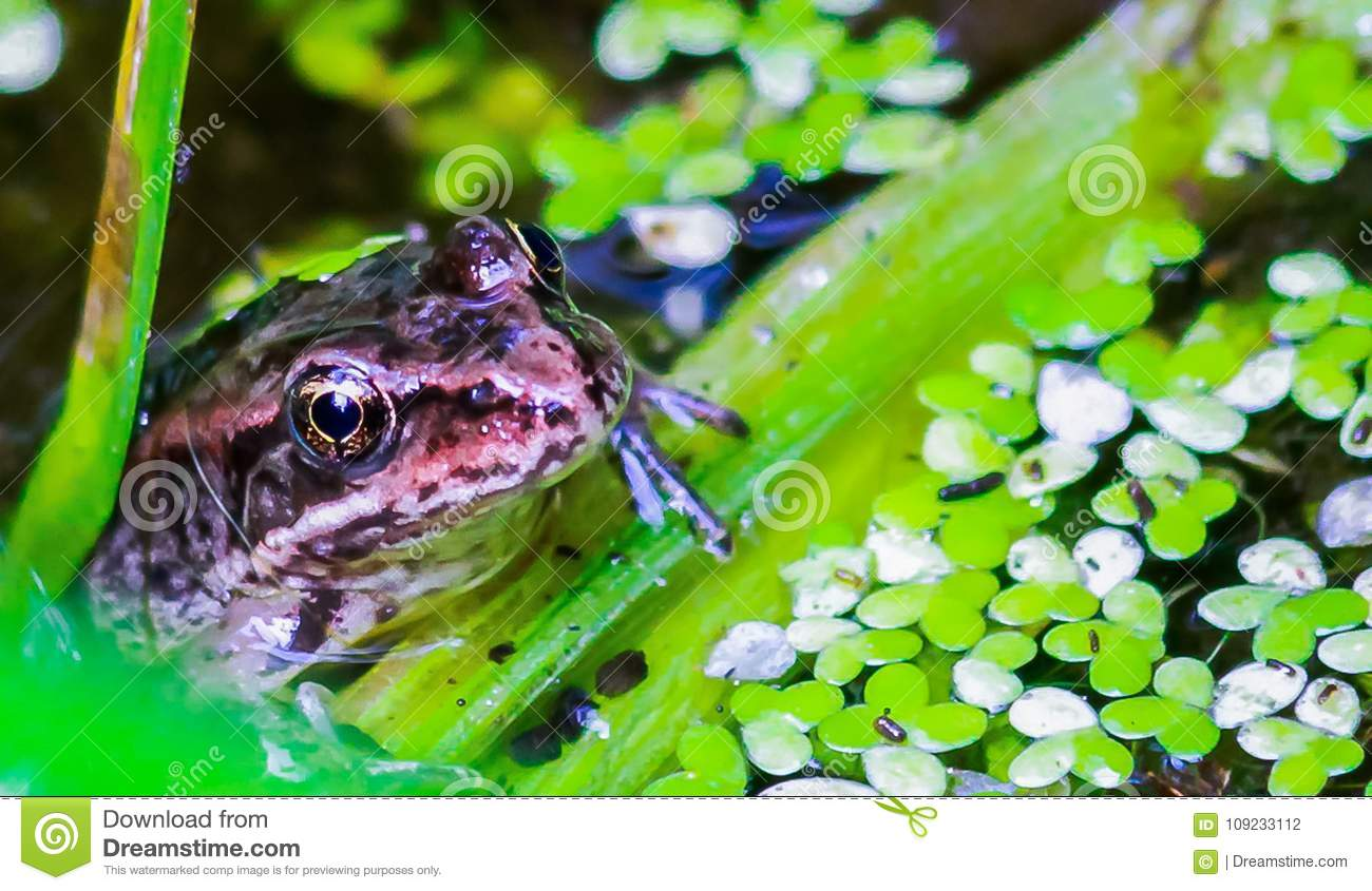 Frog half out of water, resting on a plant, Western Washington