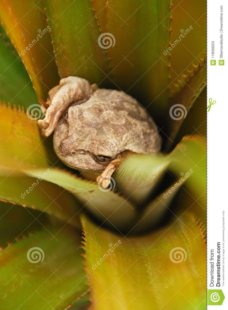 A frog hiding inside a plant in Vinales, Cuba