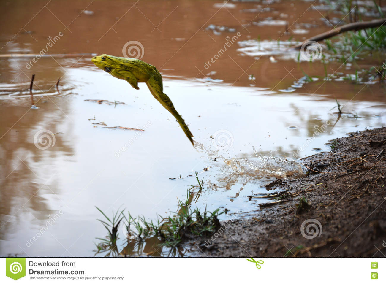 Frog jumping into pond of water stock photo image 80846266 for Green pond water