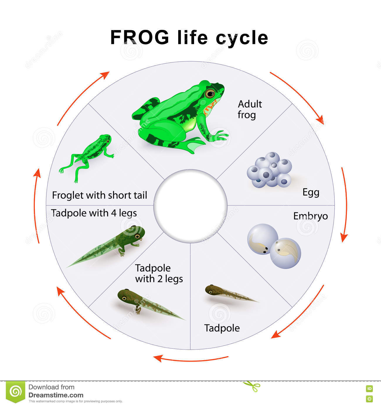 Frog life cycle amphibian metamorphosis stock vector frog life cycle amphibian metamorphosis pooptronica Choice Image