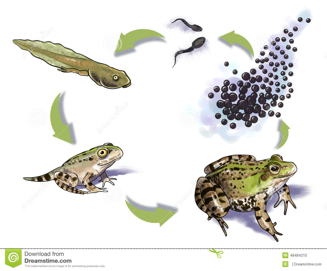Digital illustration of a Frog life cycle.