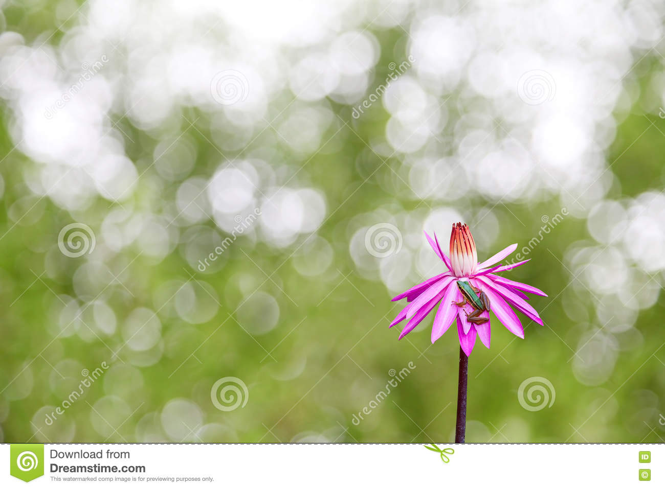 Frog On Lotus Flowers On Nature Green Background Stock Photo