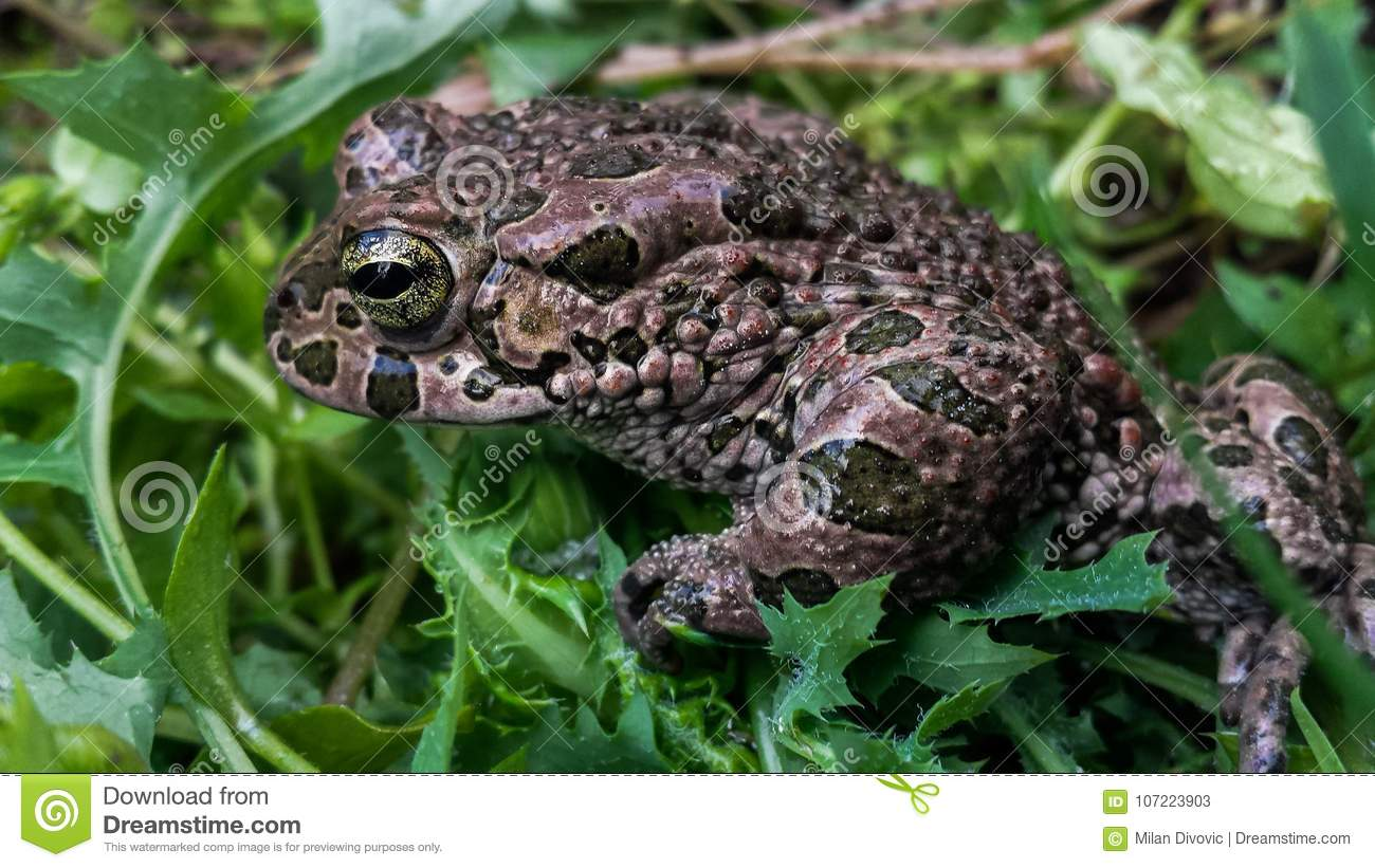 Backyard Frogs frog in my backyard stock image. image of animals, grass - 107223903