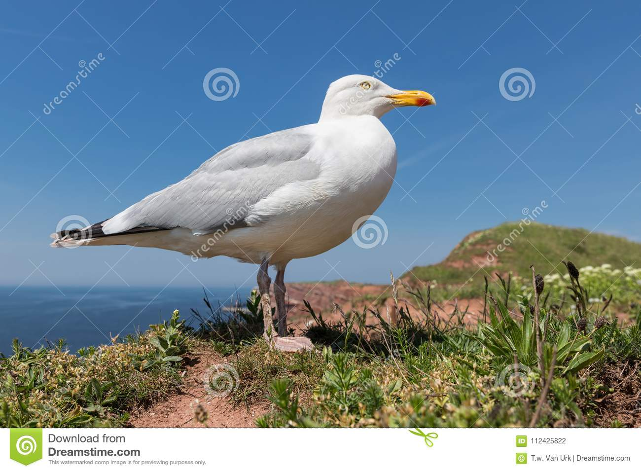 Frog perspective of Herring gull at German island Helgoland