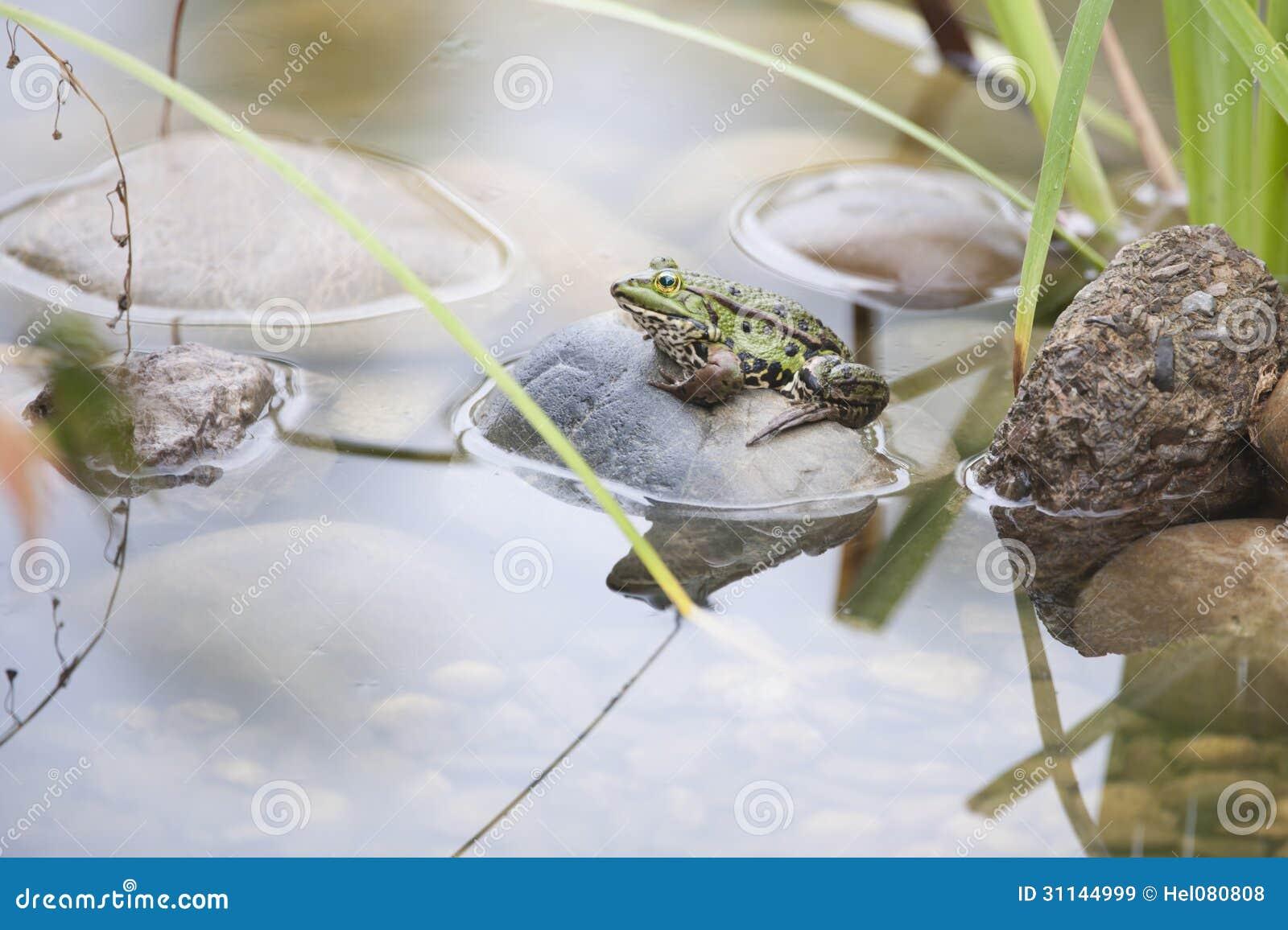 Frog in pond royalty free stock images image 31144999 for Garden pond design software free download