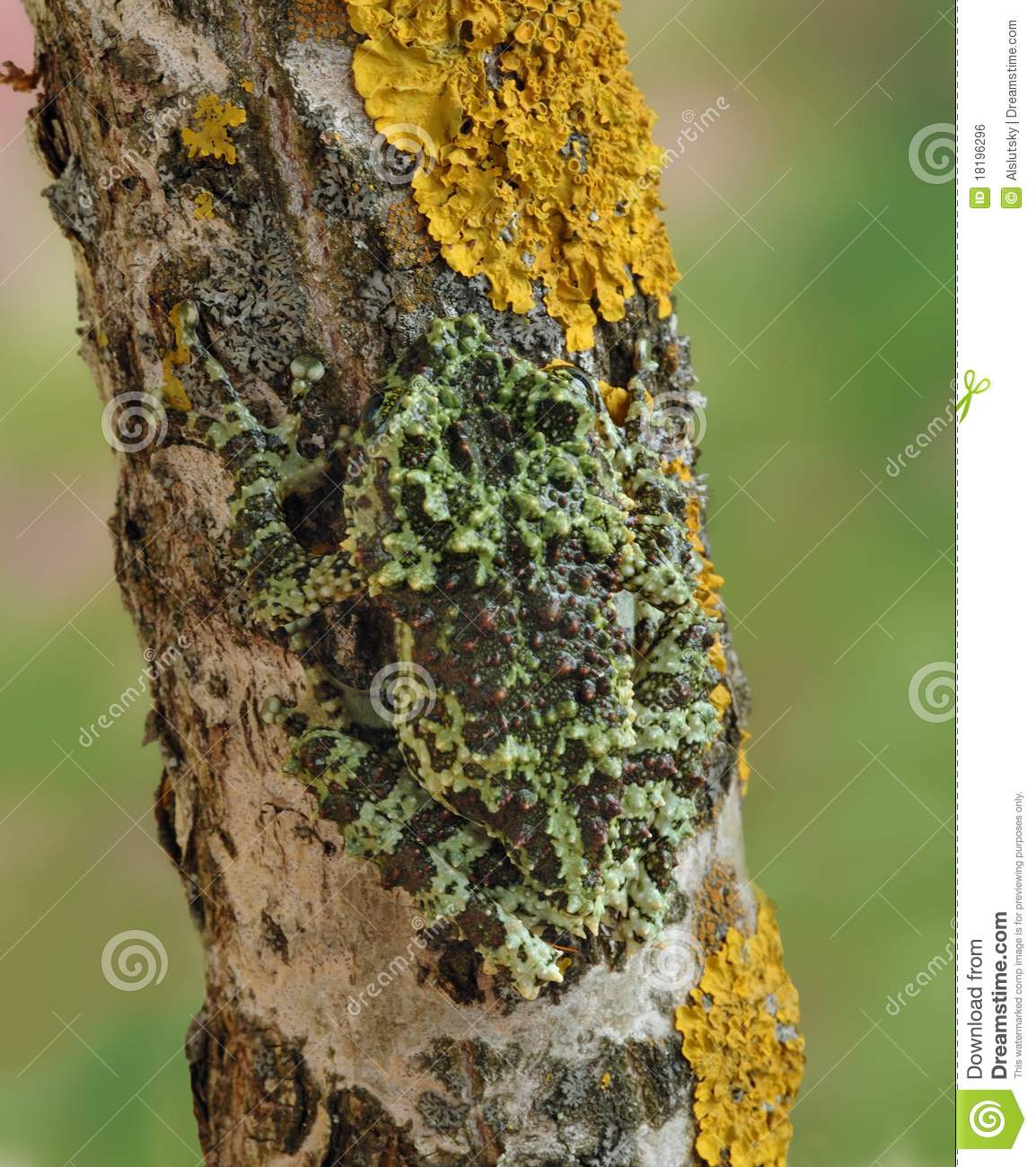 Download Frog Theloderma corticale stock photo. Image of exotic - 18196296