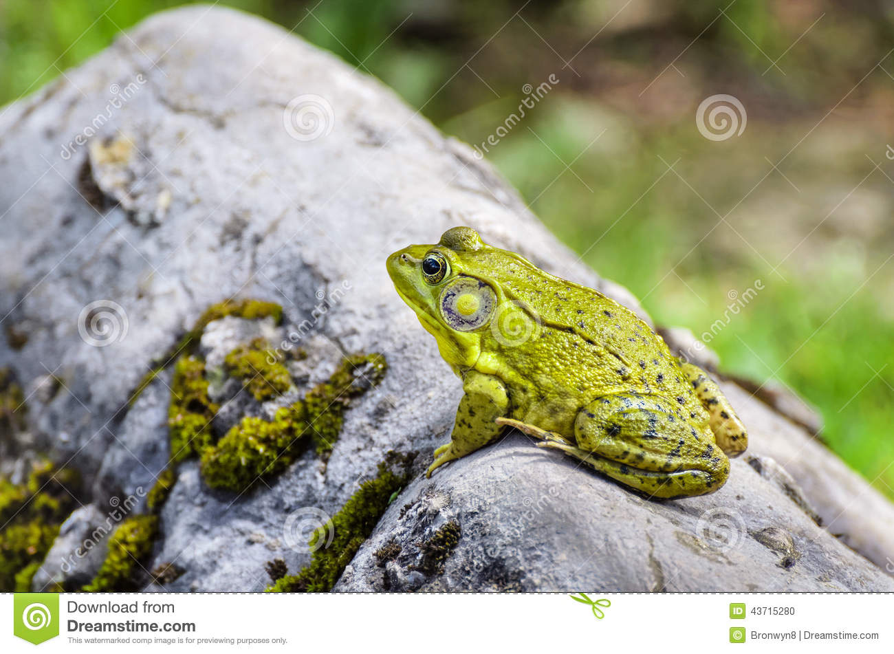 L Clamitans Frog on Rock stock pho...