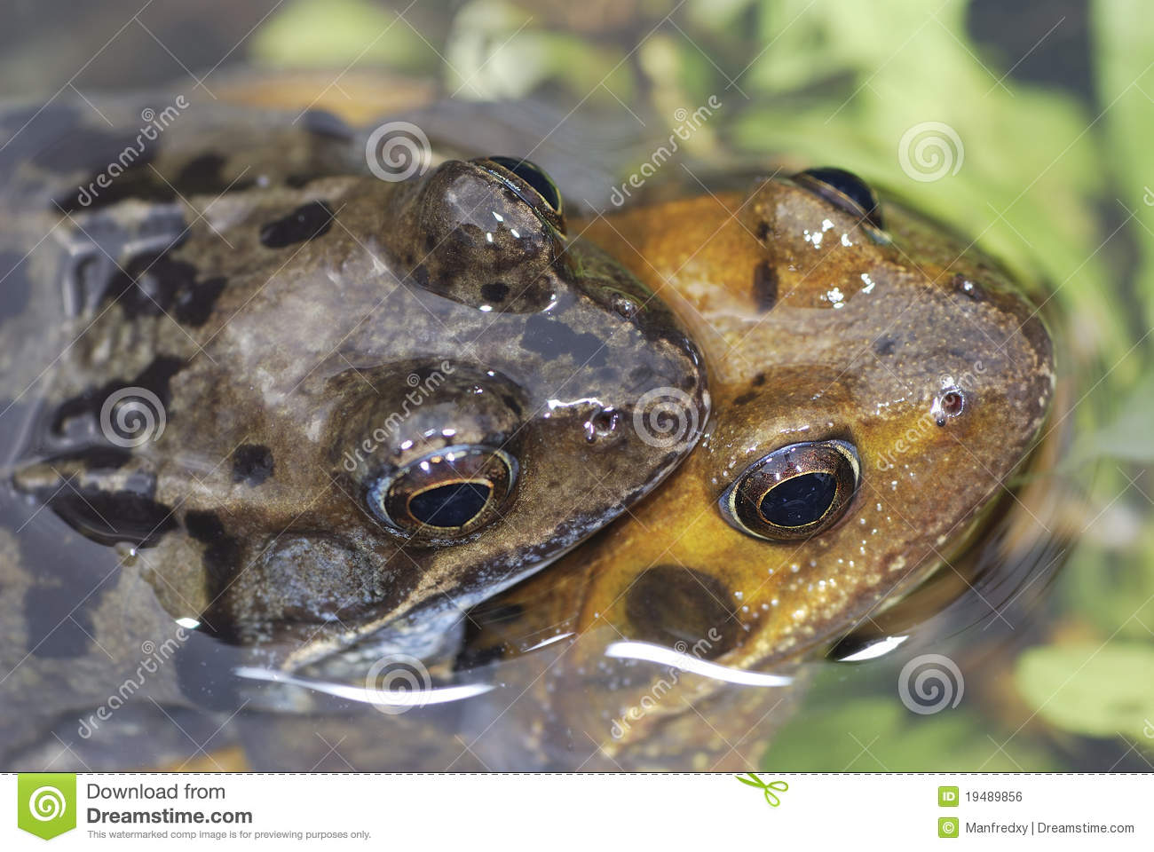 Royalty Free Stock Image: Frog sex: http://dreamstime.com/royalty-free-stock-image-frog-sex-image19489856