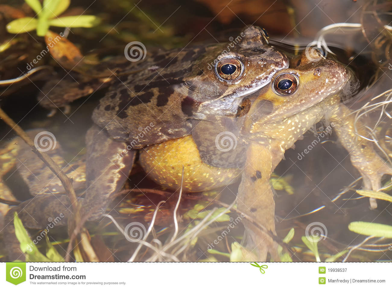 Royalty Free Stock Photography: Frog sex: http://dreamstime.com/royalty-free-stock-photography-frog-sex-image19938537