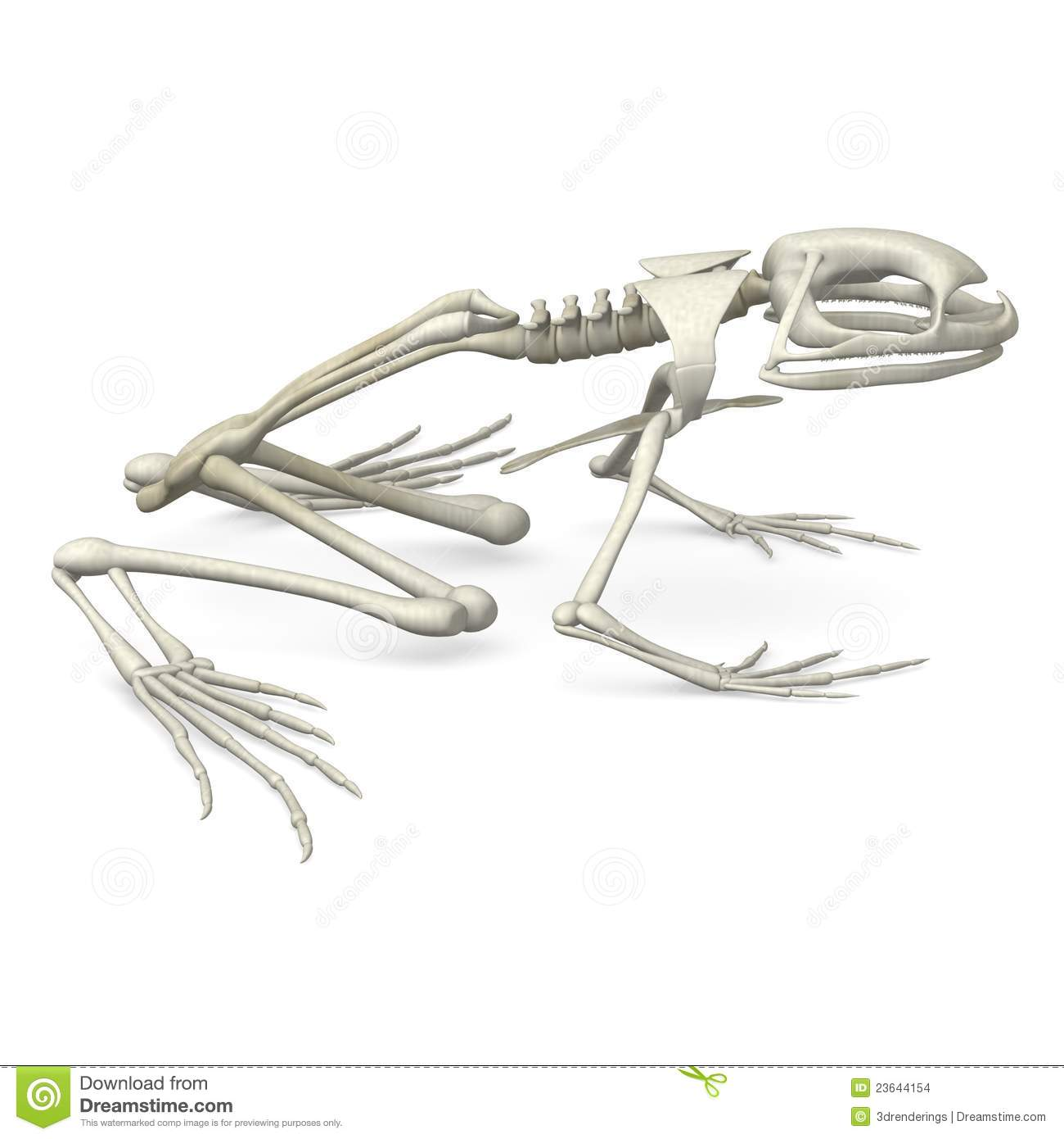 Frog skeleton from side stock illustration. Illustration of ...