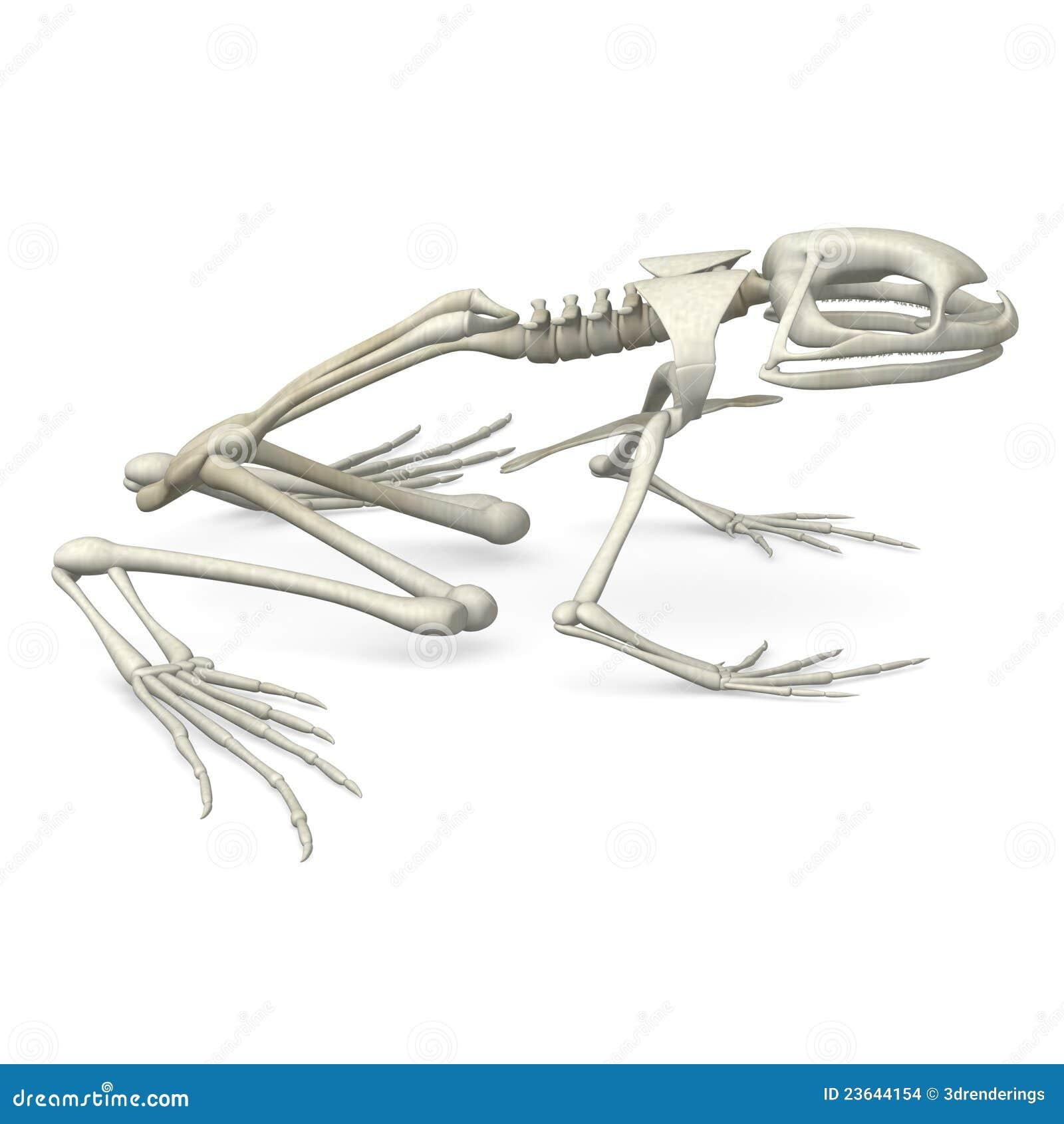 frog skeleton from side stock images image 23644154. Black Bedroom Furniture Sets. Home Design Ideas