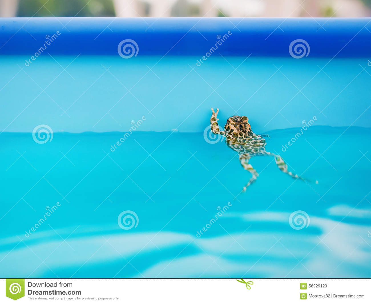 Frog Swimming Pool Stock Photos Royalty Free Pictures