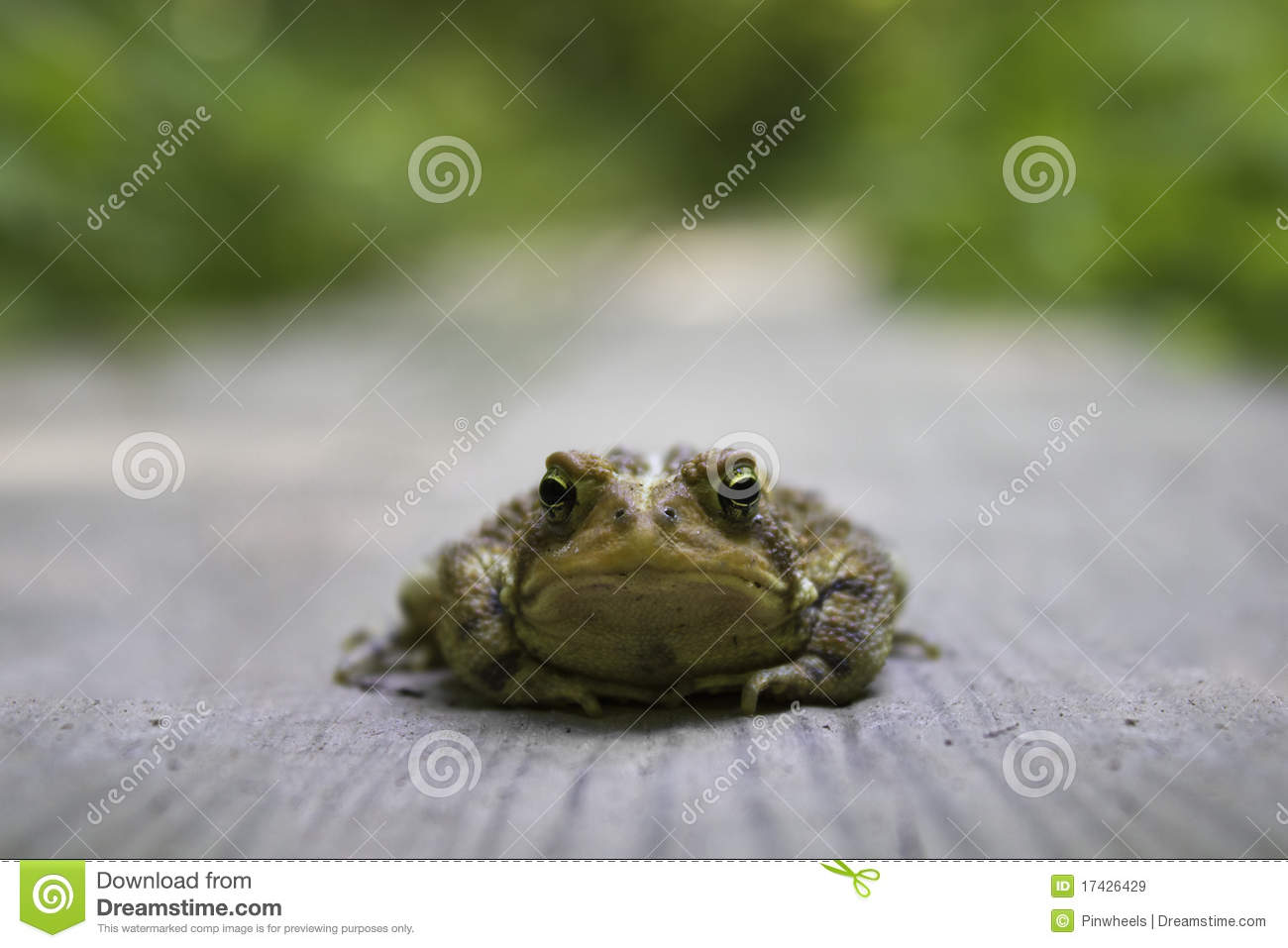 frog toad in the road stock image image of prince frog 17426429