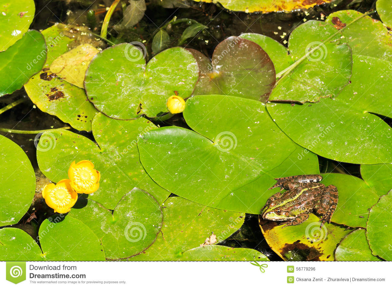 Green pond frog on water lily leaf reflection royalty free for Green pond water