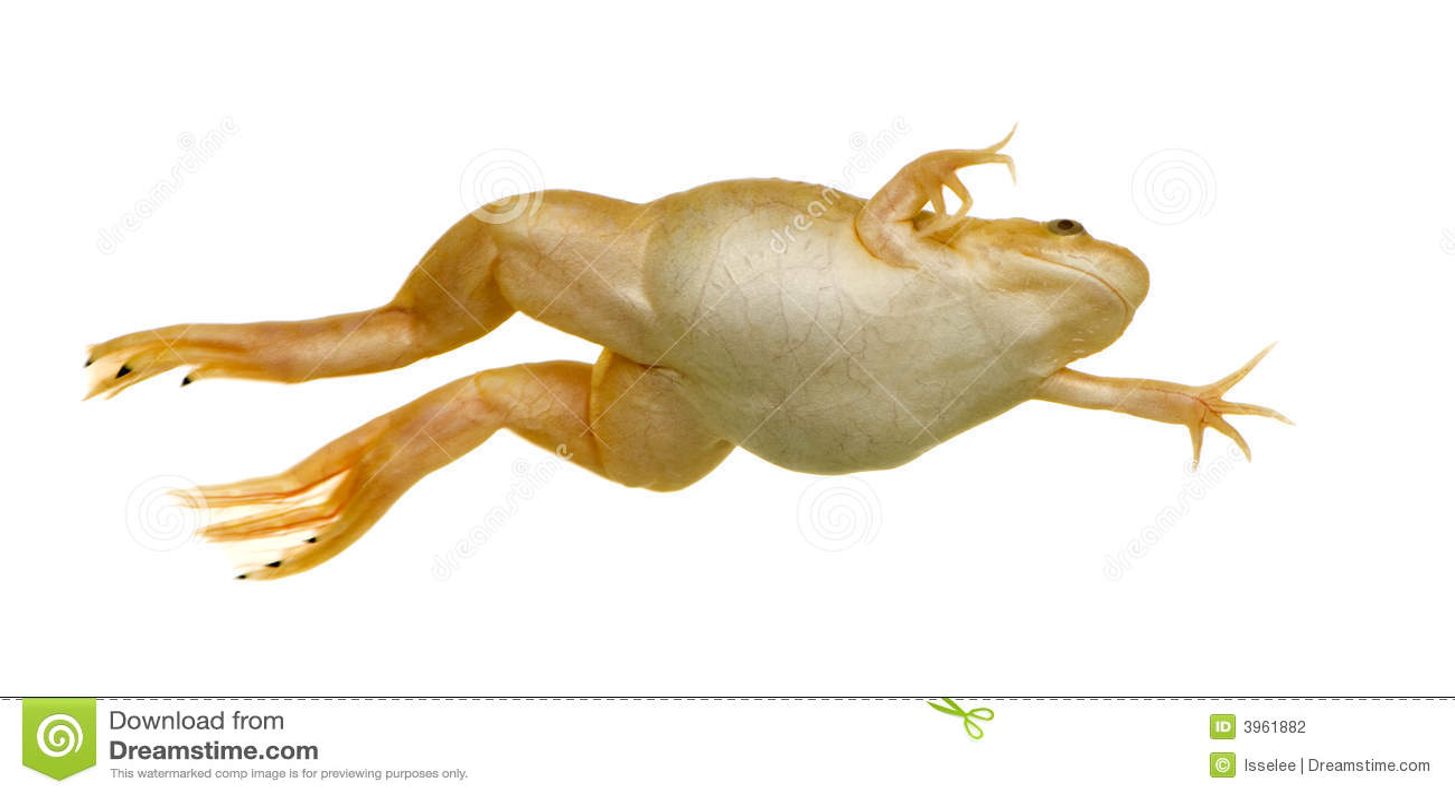 frog xenopus laevis 3961882