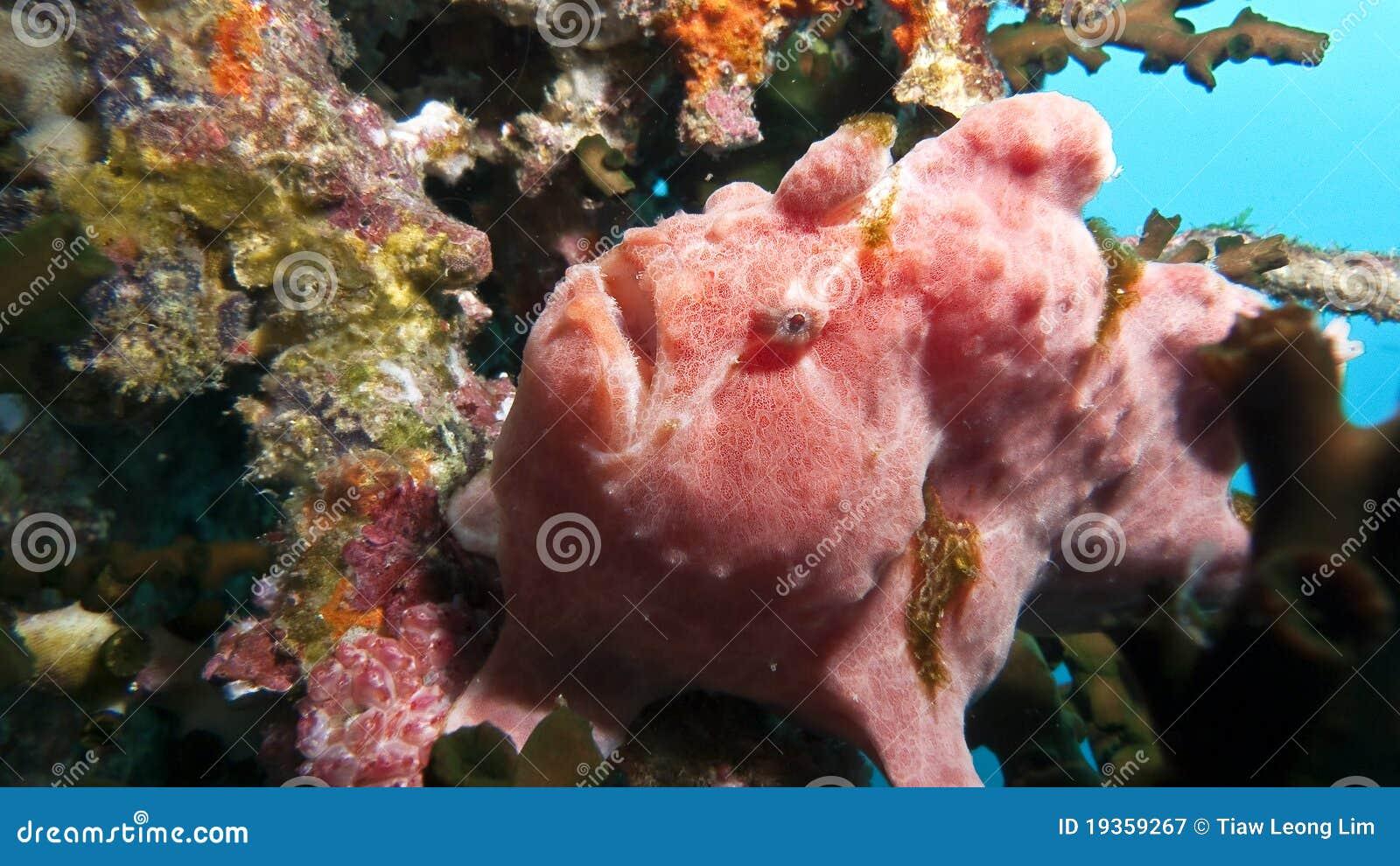 Frogfish gigante Antennarius