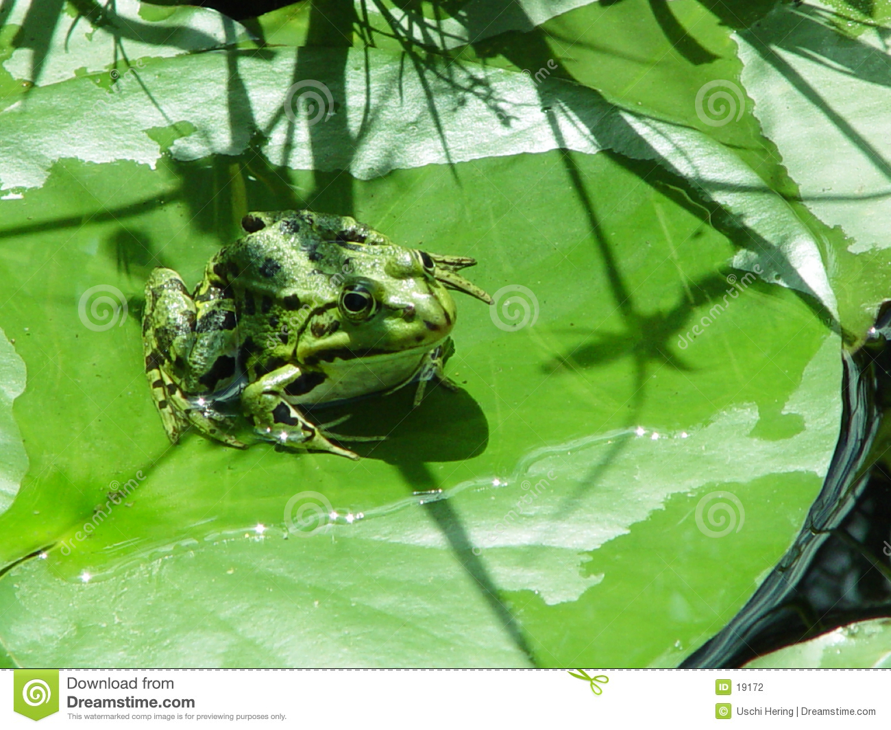 froggy on a lily pad
