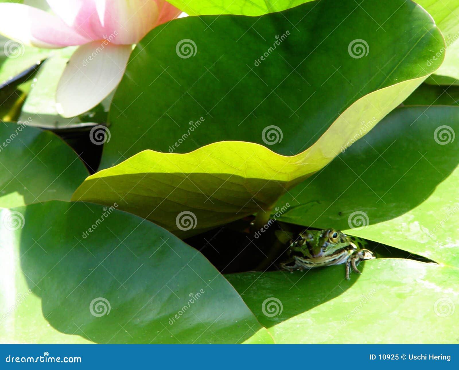 Froggy sous la garniture de lis