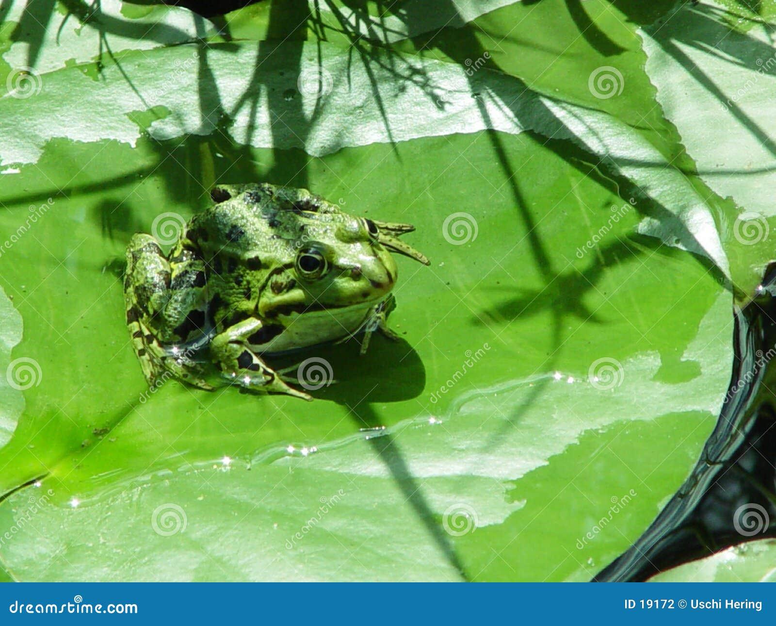 Froggy sur une garniture de lis