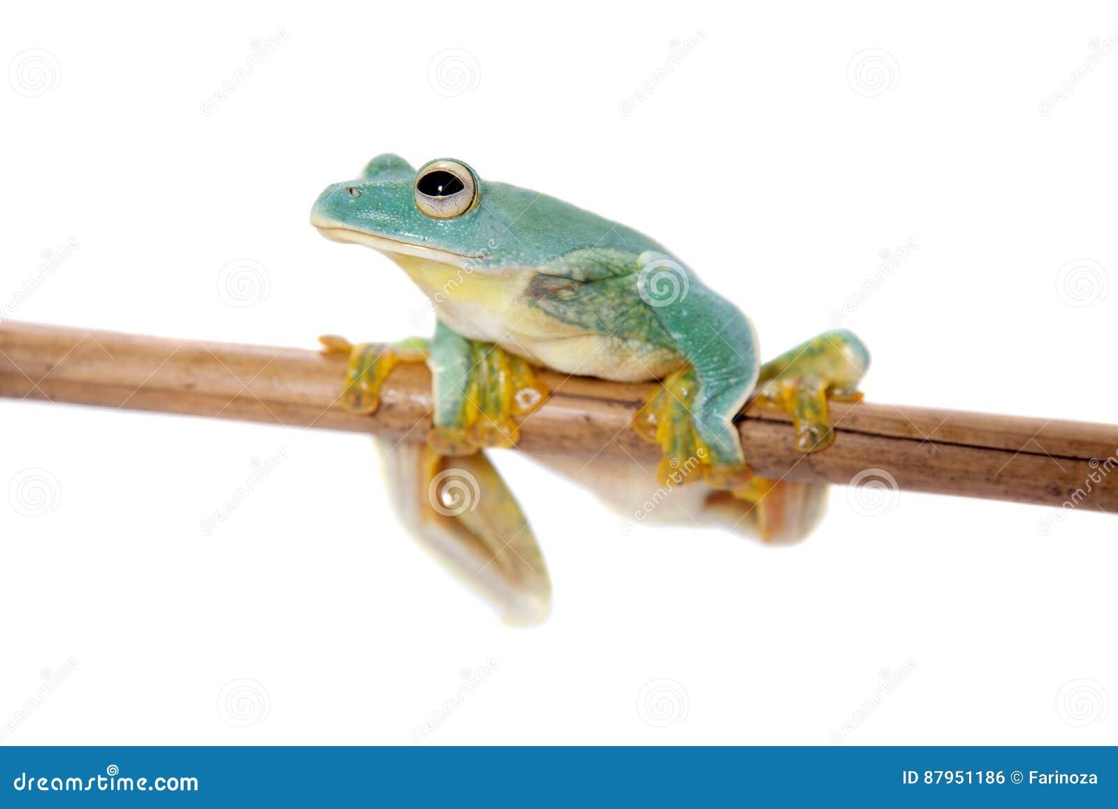 Frogling för Malabar flygträd som isoleras på vit