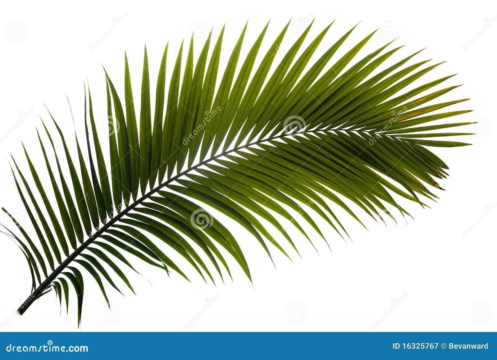 Fronda da palma