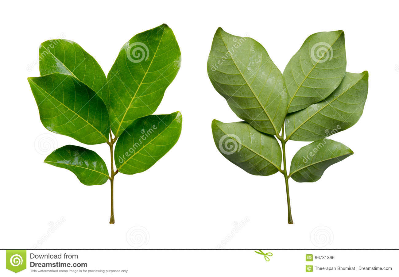 Front and back Rambutan leaves isolated on white background