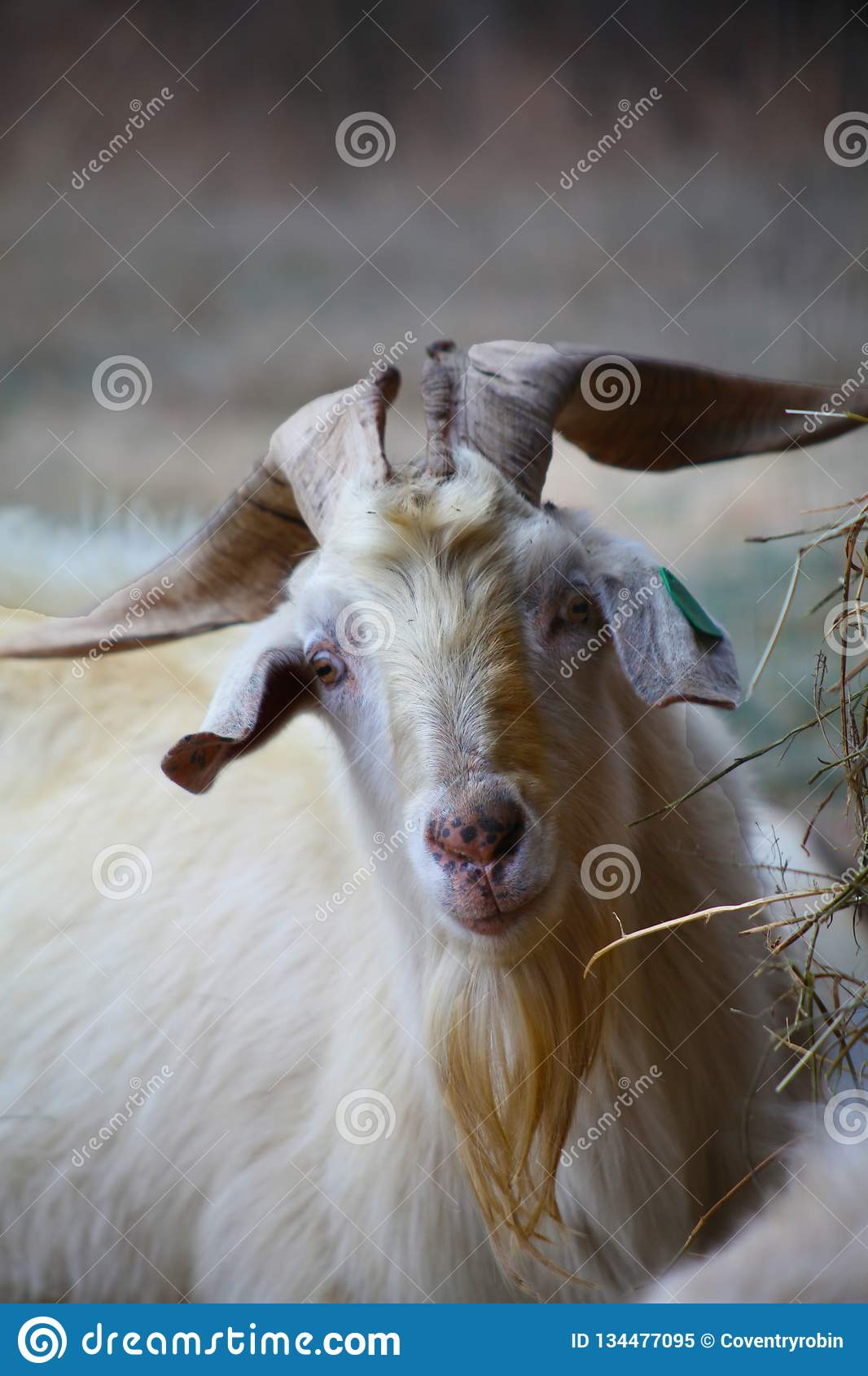 Front On Head Of A Male Kiko Goat Stock Image - Image of