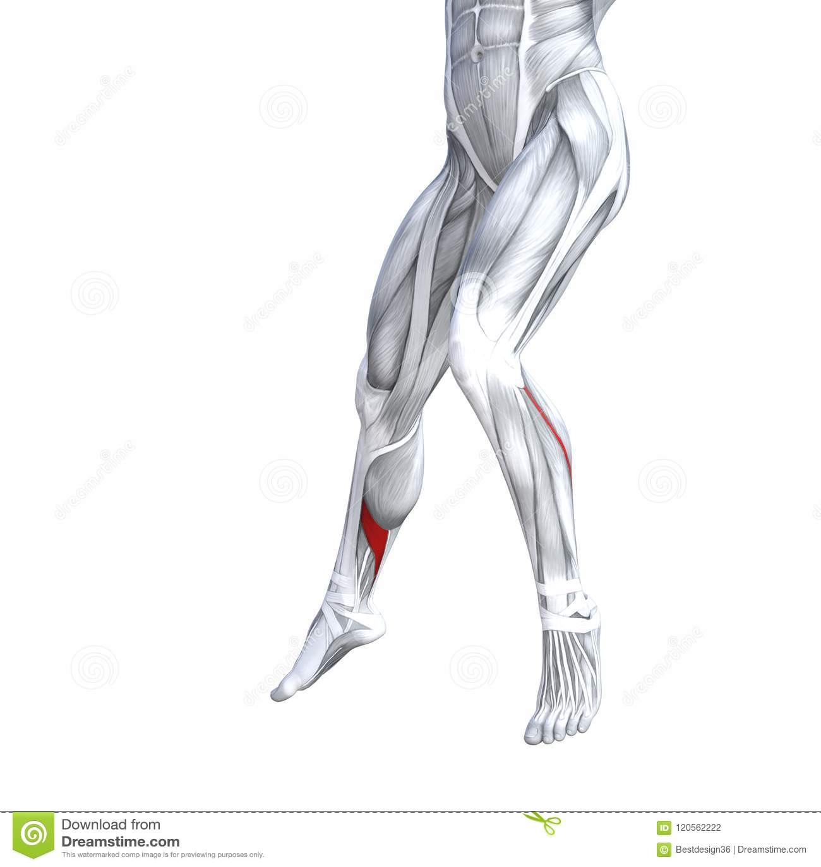 Front Lower Leg Human Anatomy Stock Illustration - Illustration of ...