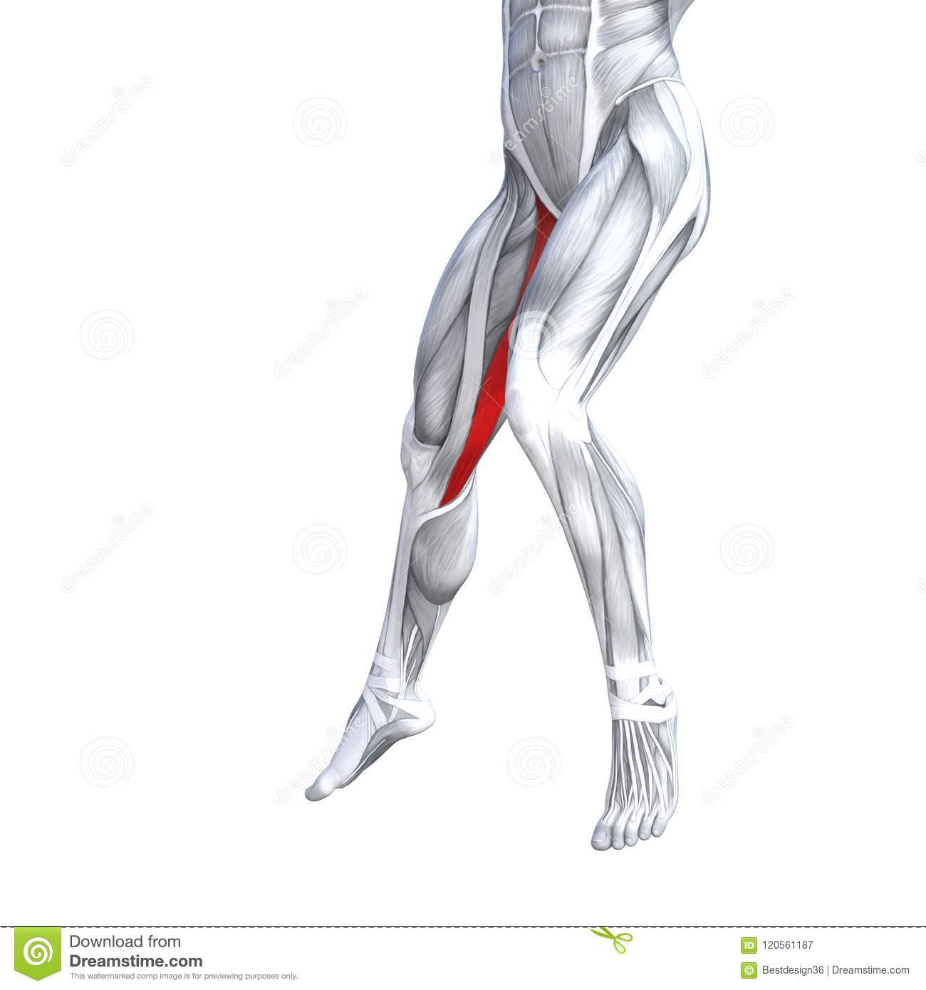 Front Lower Leg Human Anatomy Stock Illustration Illustration Of