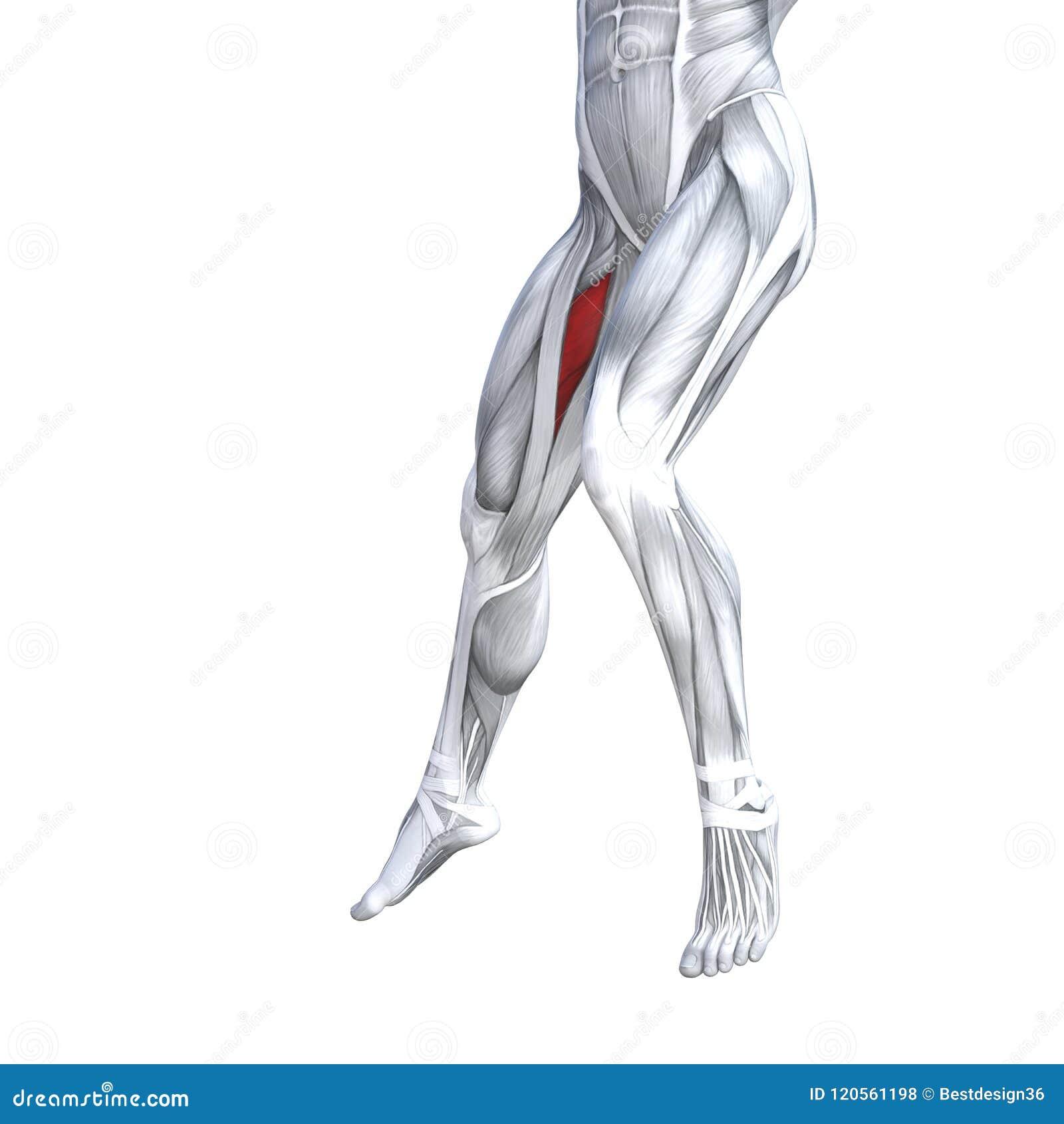 Front Lower Leg Human Anatomy Stock Illustration Illustration Of